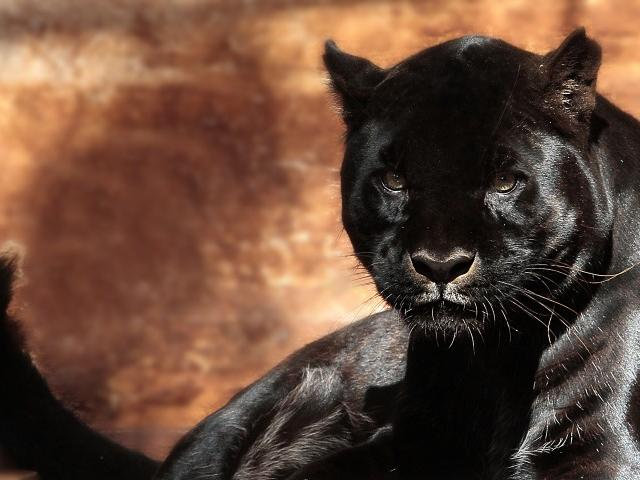Jaguareté melánico