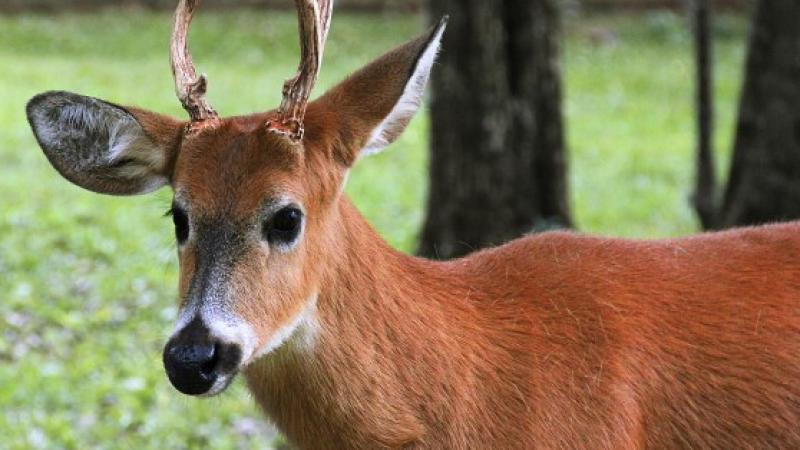 Guasú pukú, ciervo de los pantanos