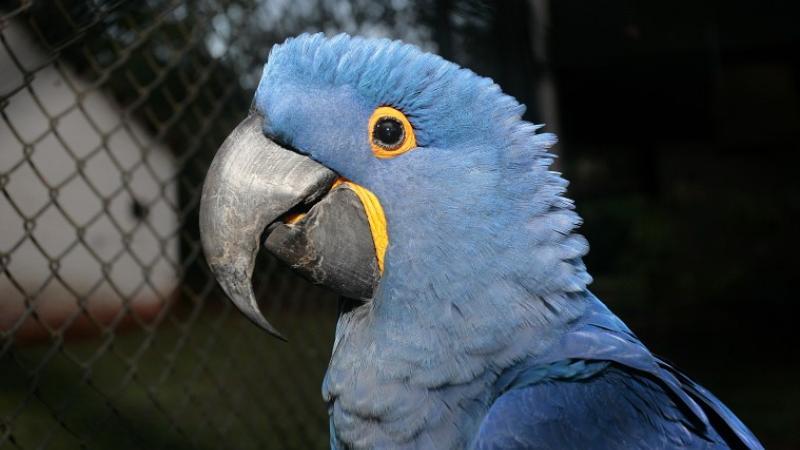 Gua'a hovy, papagayo azul