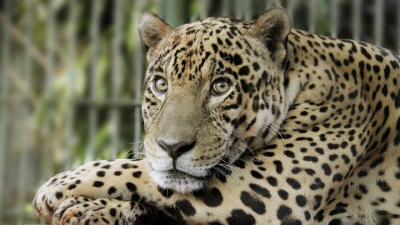 Jaguareté, jaguar